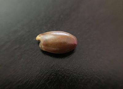 スターアニスの種子